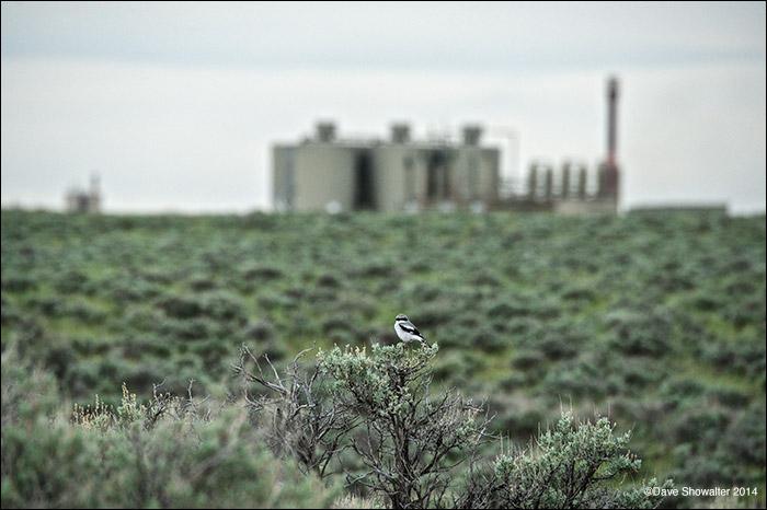 loggerhead shrike, jonah field, photo