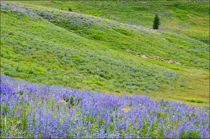 Lupine blooms on a verdant green mountainside below Lookout Peak in the Wyoming Range.