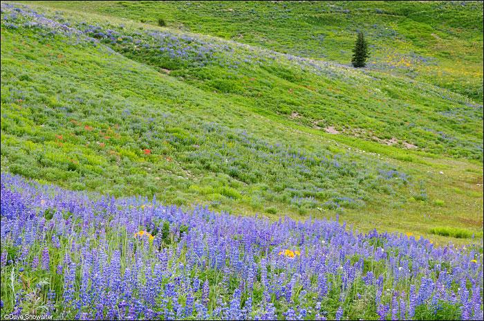 lupine, lookout peak, photo