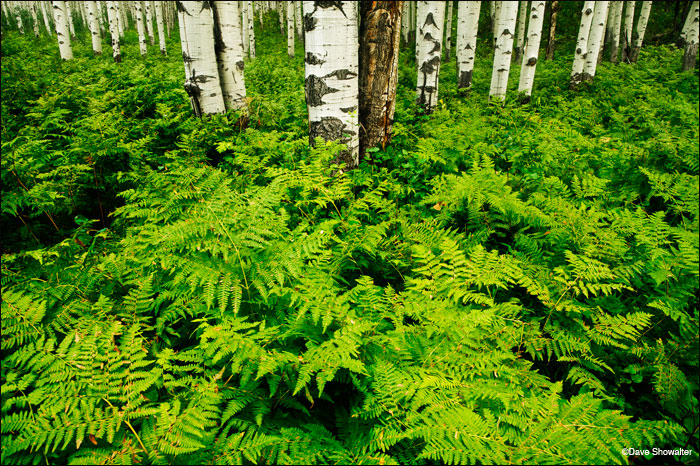 Late summer ferns are thigh-high in this aspen forest on top of McClure Pass. near the town of Marble.