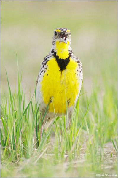 western meadowlark, prairie, photo