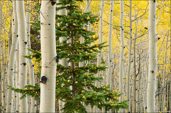 aspen forest, ohio pass, kebler pass, photo
