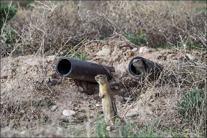 wyoming ground squirrels, predation, photo