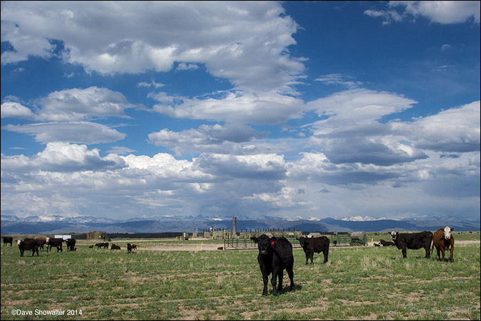 Cattle graze on a reclaimed drill pad in the Pinedale Anticline Natural Gas Field. Reclamation does not return the land to its...