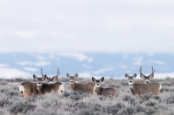 pinedale mule deer herd, pinedale mesa, natural gas drilling, photo
