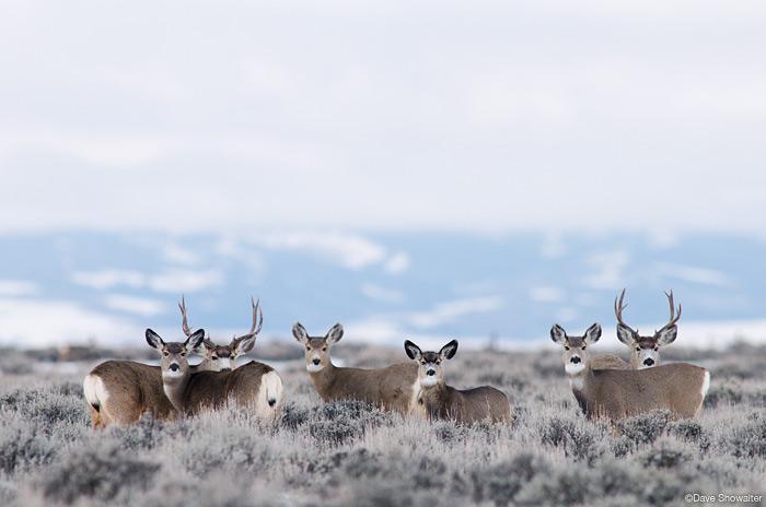 pinedale mule deer herd, pinedale mesa, natural gas drilling, photo