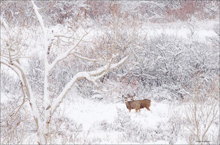 Deer in Snow Scenes Mule Deer Snow Scene