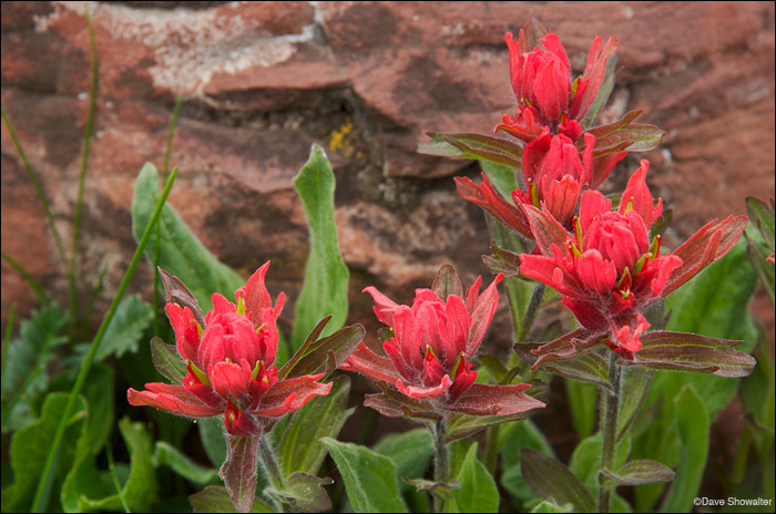 indian paintbrush, maroon bells, photo