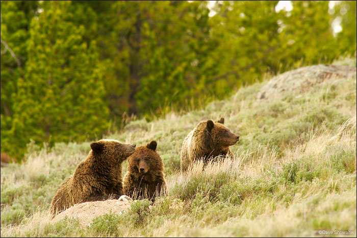 quad mom, grizzly sow, photo
