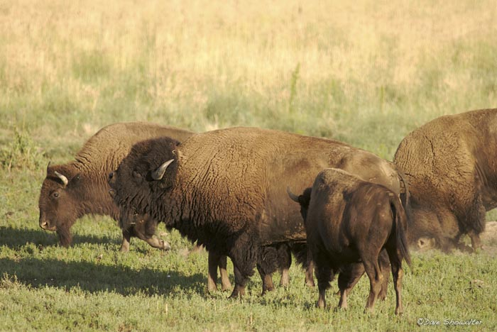 bison, Rocky Mountain Arsenal NWR, photo
