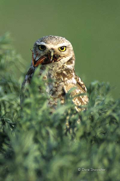burrowing owl, Rocky Mountain Arsenal NWR, photo