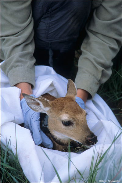 fawn, collared, photo