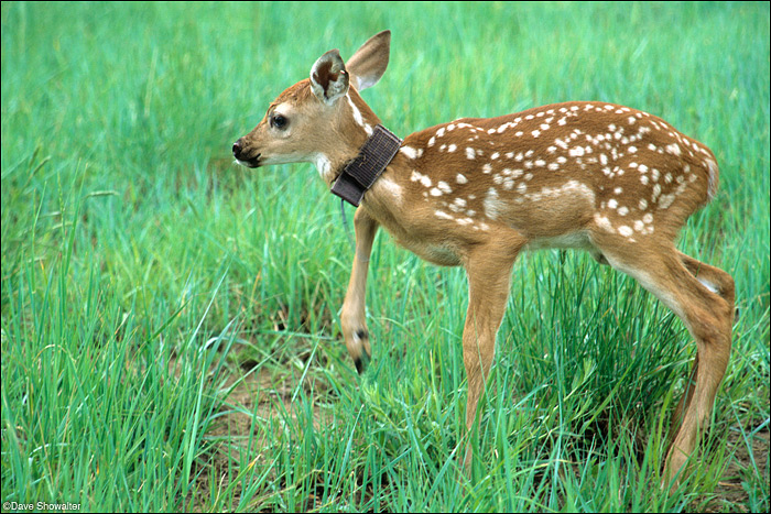 Just released after collaring, a white-tailed deer fawn gains his balance and makes an unsteady escape. The collaring study...