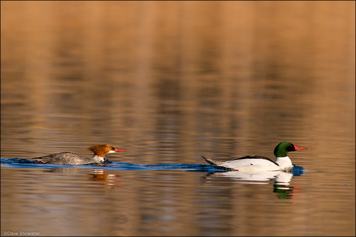 A male common merganser leads the female in a meandering trip around Lake Derby. Mergansers are fish-eating diving ducks...