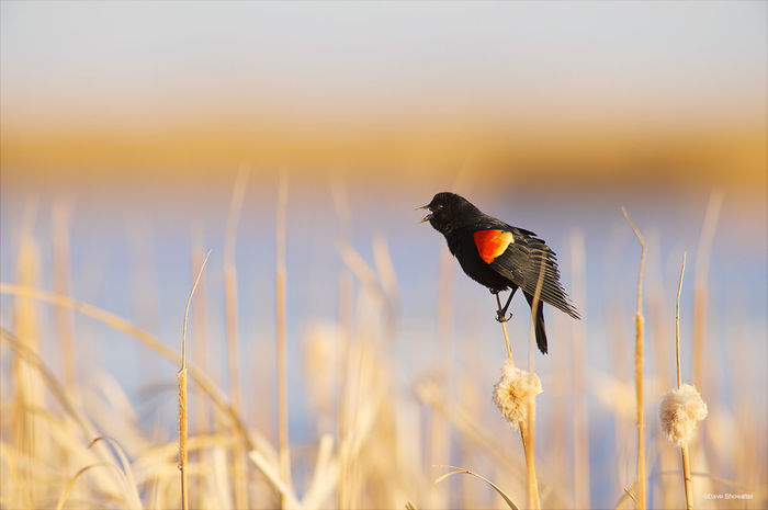 red-winged blackbird, cattail