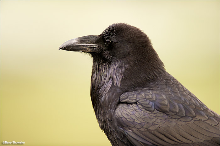 This common raven posed for a tight portrait only because he's a beggar experienced in human interactions. Nevertheless, ravens...