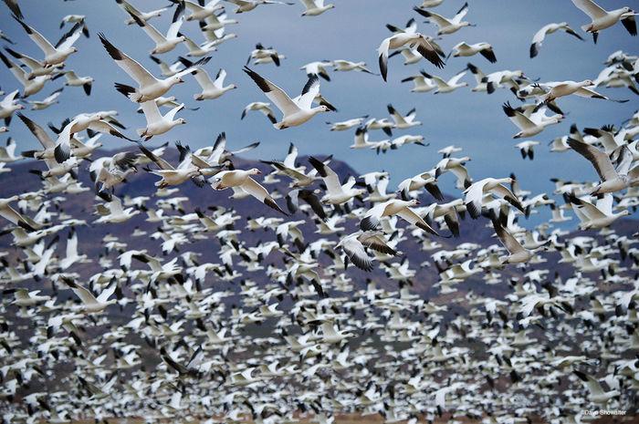 bosque del apache nwr, snow geese