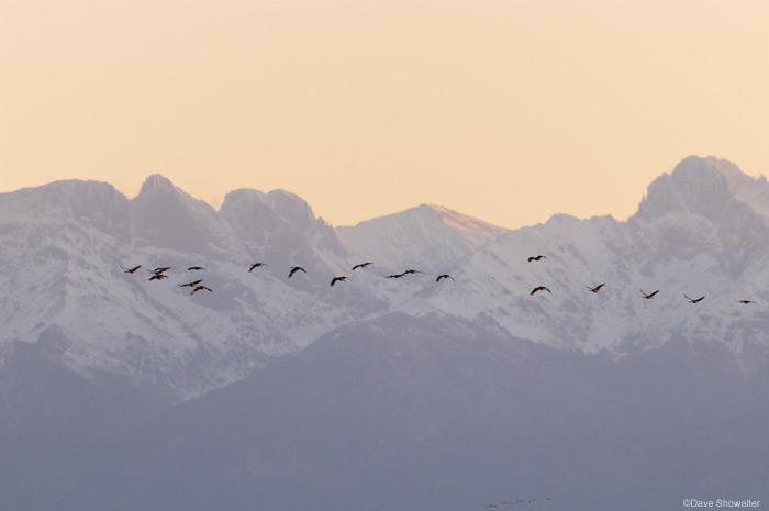 greater sandhill cranes, san luis valley, photo