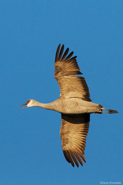 Greater sandhill crane, monte vista national wildlife refuge, photo