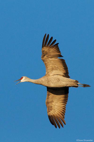 Greater sandhill crane, monte vista national wildlife refuge, photo