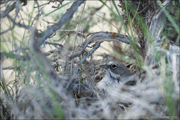sagebrush sparrow, nestling, photo