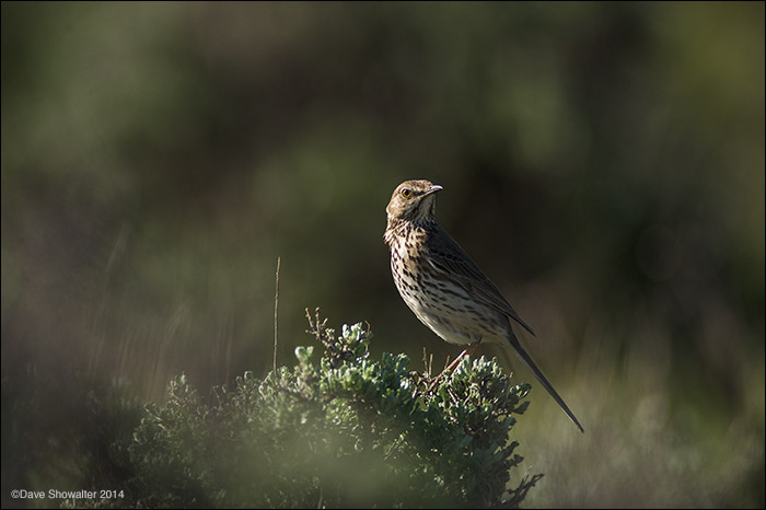 """A sage thrasher perches on the sagebrush """"canopy"""" before tending to the nest below. Sage thrashers are almost robin sized, with..."""