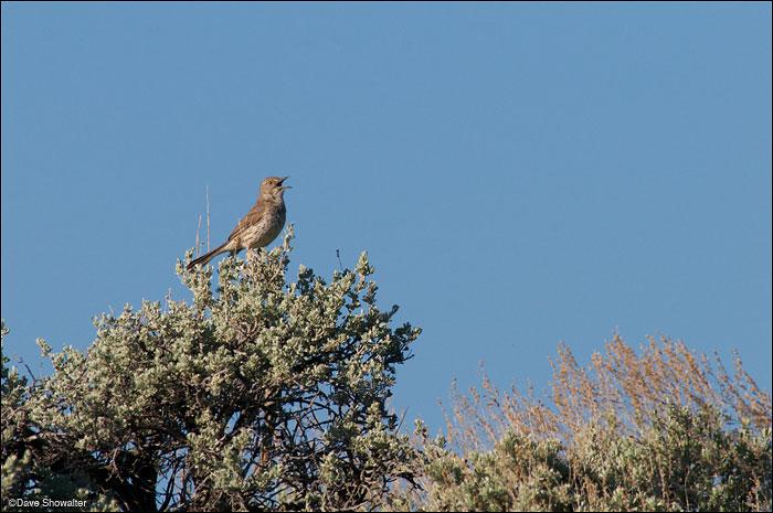 Soda Lake Wildlife Management Area, sage thrasher, photo