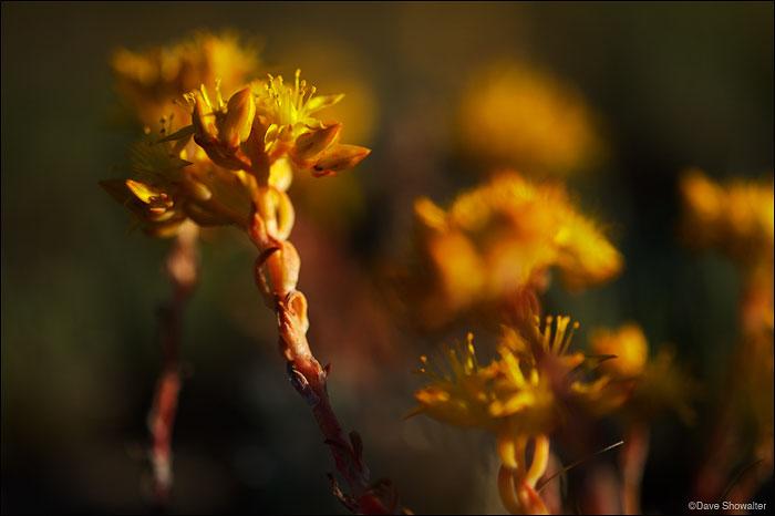 Soda Lake Wildlife Management Area, stonecrop wildflowers, photo