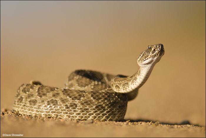 rattlesnake, prairie