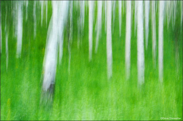 An impressionistic scene of aspen boles and summer grasses. The image was made by moving the camera during exposure - quite...