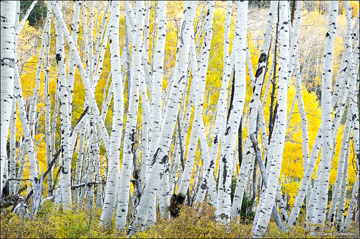 Bright white aspen boles in chaotic patterns contrast with a golden backdrop nearing the end of fall color. The image was...