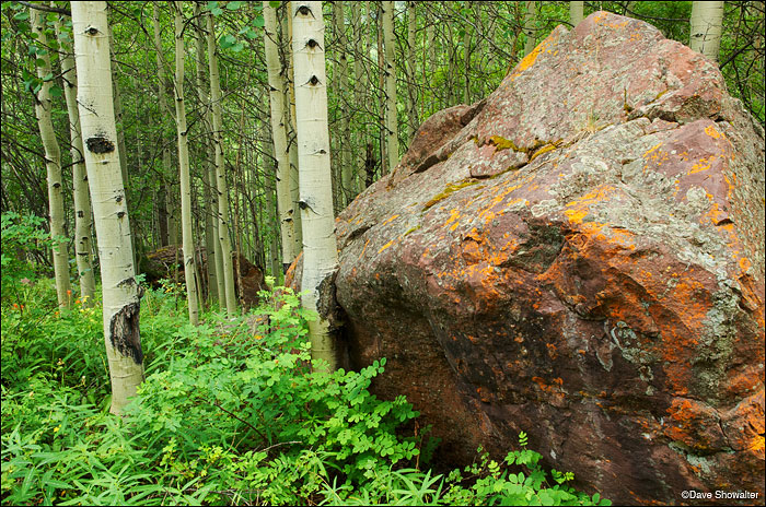 A bus-size glacial erratic rests in dense aspen forest along the Snowmass Creek Trail.