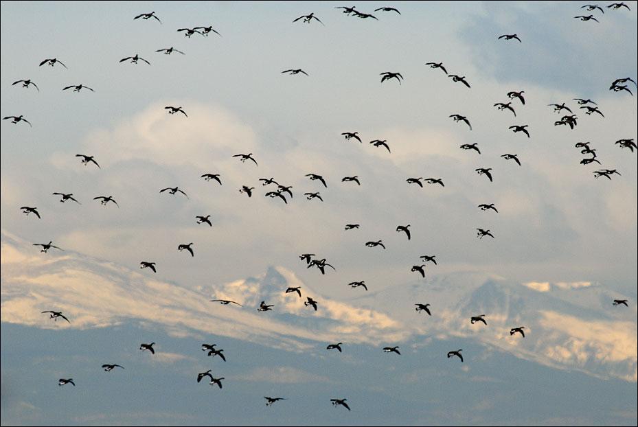 canada geese, colorado prairie, photo