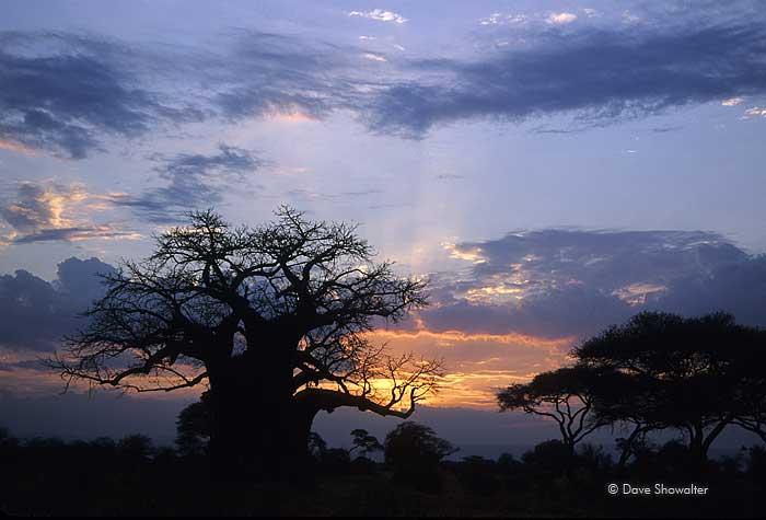 Baobob Tree, Tarangire National Park, photo