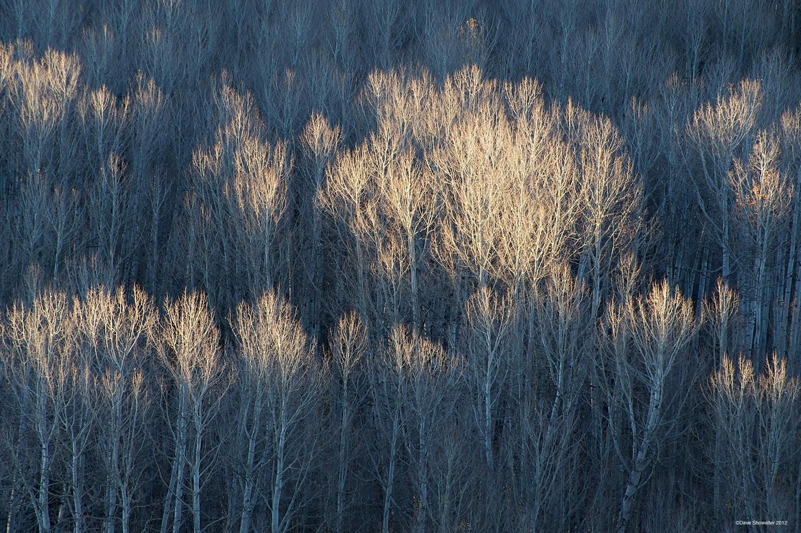 Still clinging to a few leaves, autumn aspen catch early morning light below Wilson Peak.