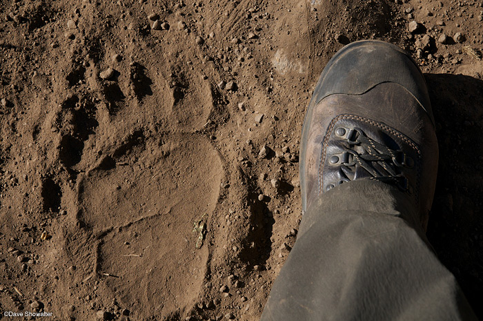 My size 11 boot adds scale to a large rear grizzly bear track on the Pahaska Trail, near Yellowstone's eastern border....