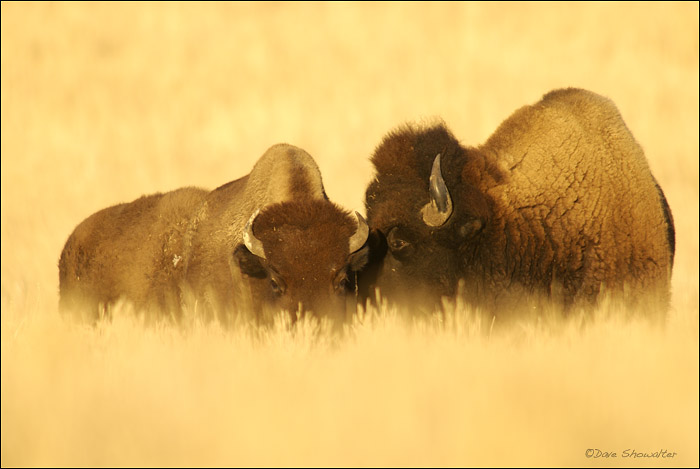 autumn grass, bison, photo