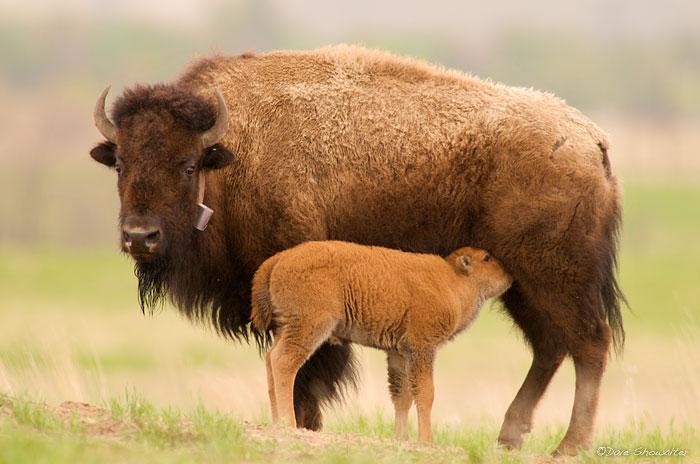 bison calf, Rocky Mountain Arsenal NWR, photo