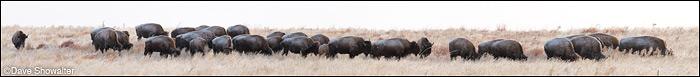 bison, shortgrass prairie, photo