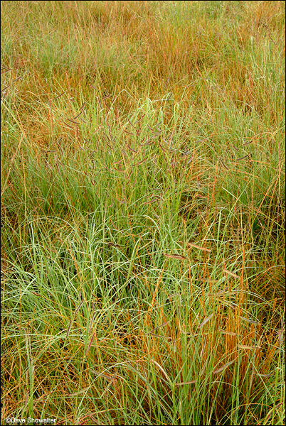 blue grama grass, shortgrass prairie, photo