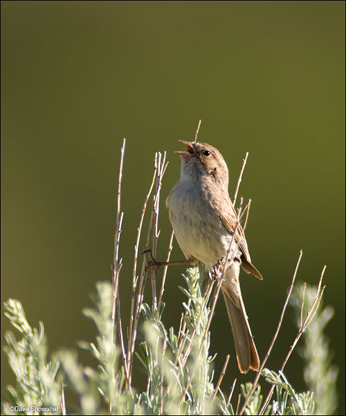 Brewer's sparrow are a sage obligate species; meaning they are obligated to breed in sage. Brewer's sparrow, sage sparrow...