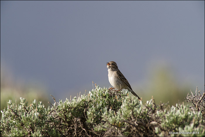 sagebrush obligate songbirds, brewer's sparrow, photo