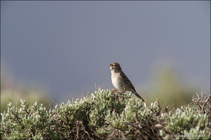 sagebrush obligate songbirds, brewer's sparrow, photo