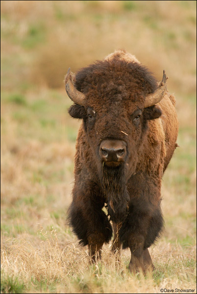 Bison Bull Head On Rocky Mountain Arsenal National