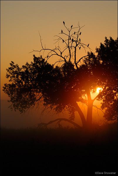 cormorant, cottonwood tree, photo