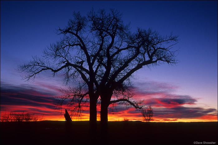 sunrise, cottonwoods, winter, photo