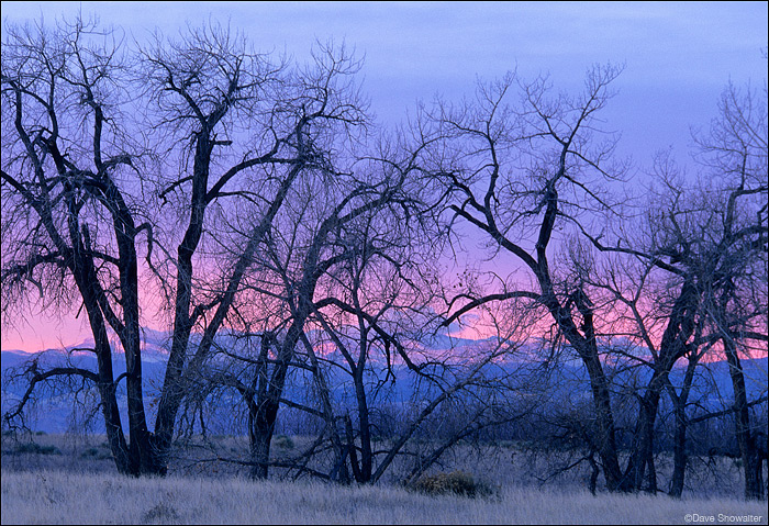 silhouette, cottonwood trees, Front Range, photo
