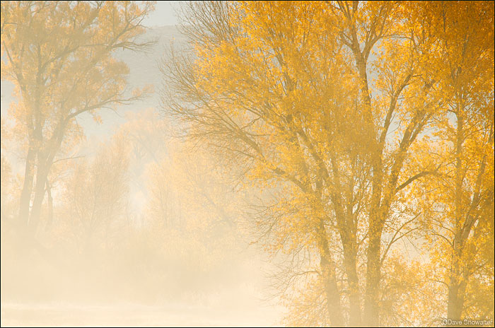 autumn cottonwood trees, Gunnison River, Neversink, photo