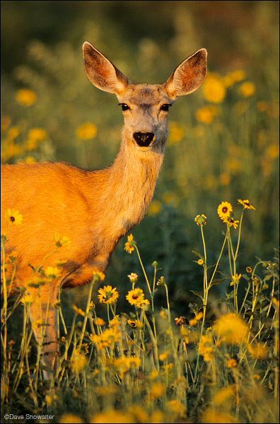 mule deer, prairie sunflower, photo