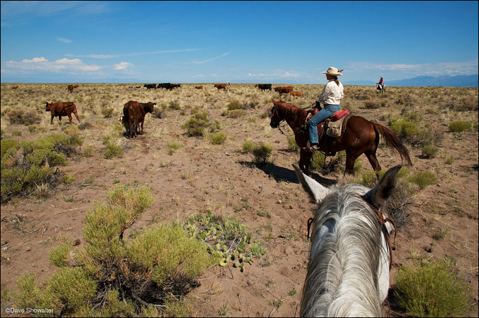 Danielle drives cattle to a new pasture on the Medano side of Zapata Ranch. The Nature Conservancy owns Zapata Ranch and...